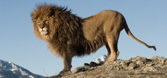 Akého priemerného veku sa dožívajú levy vo voľnej prírode?