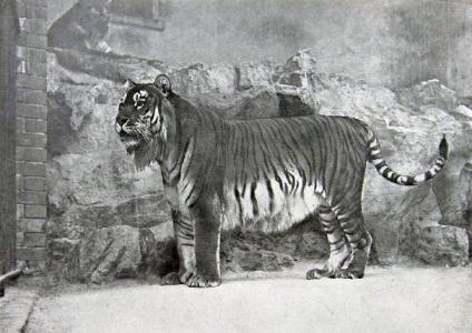Tak, ako má tigria srsť na sebe pásiky, tak má pásiky aj jeho koža.