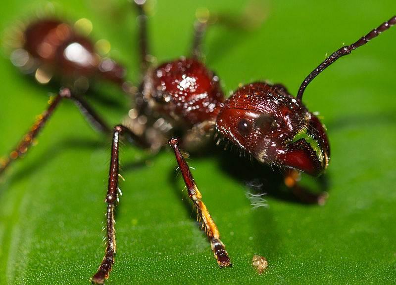 3. Nechať sa pohrýzť a poštípať týmto tropickým mravcom by ste sa rozhodne nechceli. Zvyčajne sa zahryzne do kože, a potom bodá zadočkom, keďže má aj žihadlo. Jeho útok je najbolestivejší z pomedzi všetkých mravcov. Volá sa: