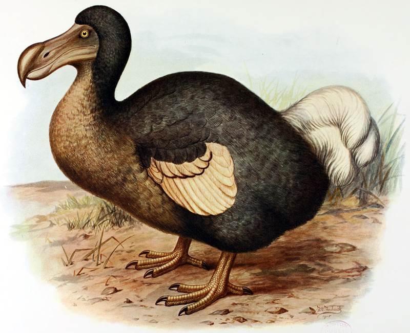 10. Tento vyhynutý vták obýval ostrov Maurícius. Bol nelietavý a živil sa najmä ovocím. Jeho prezývka znie Dodo, no odborný názov je: