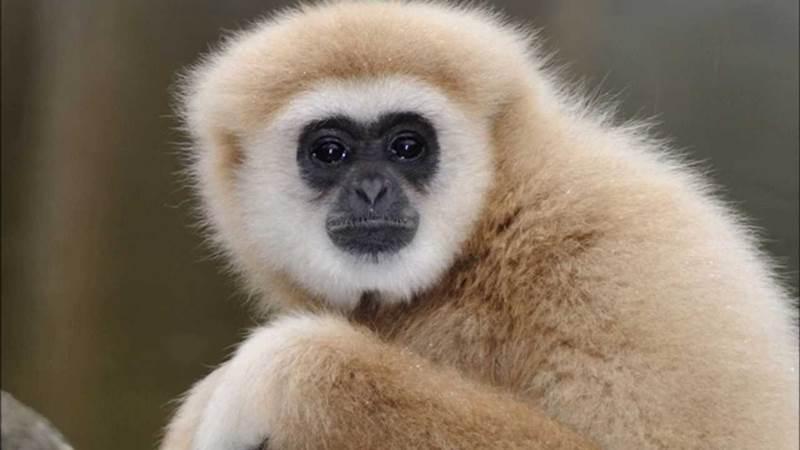 1. Táto opička sa radí medzi najmenšie ľudoopice. Obýva najmä oblasti juhovýchodnej Ázie a jej počty klesajú kvôli masívnemu odlesňovaniu. Volá sa: