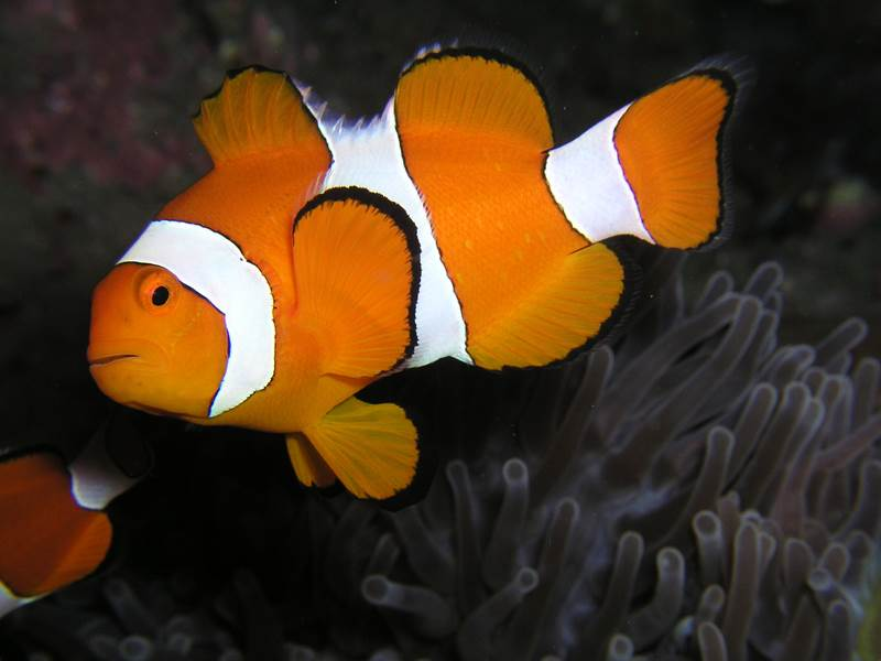 2. Túto rybu poznajú aj malé deti vďaka populárnemu animovanému filmu Hľadá sa Nemo. V skutočnosti sa však táto ryba volá: