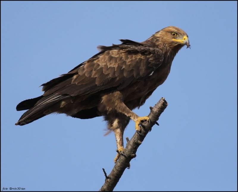 7. Tento krásny dravec sa vyskytuje aj na území Slovenska. Je to sťahovavý vták a na Slovensku je odhadovaná početnosť asi 900 párov. Volá sa: