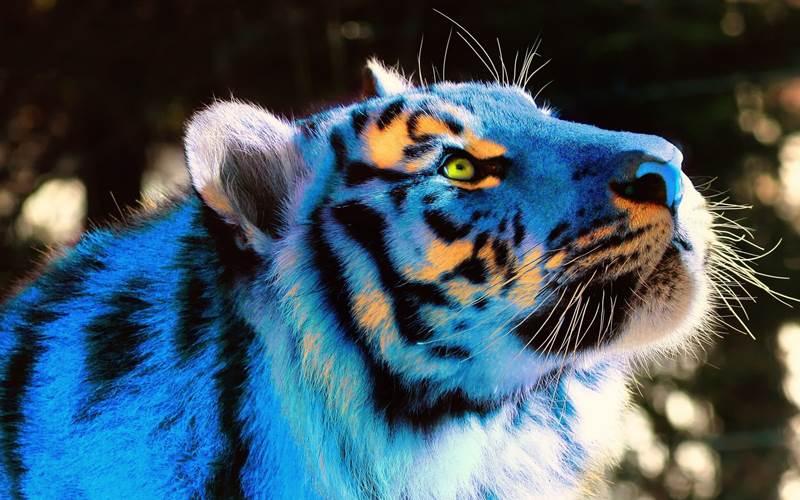 Existujú modré tigre?