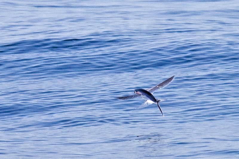 Existujú nejaké druhy rýb, ktoré by dokázali loviť vtáky?
