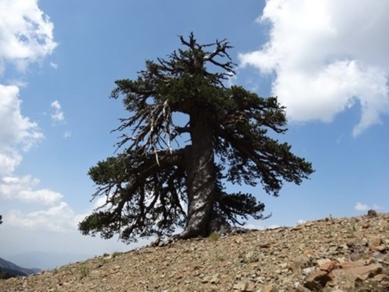 najstarsi strom europy 2