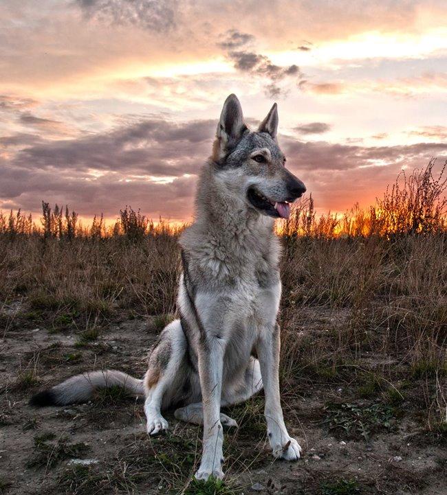 czechwolfdog.wordpress.com