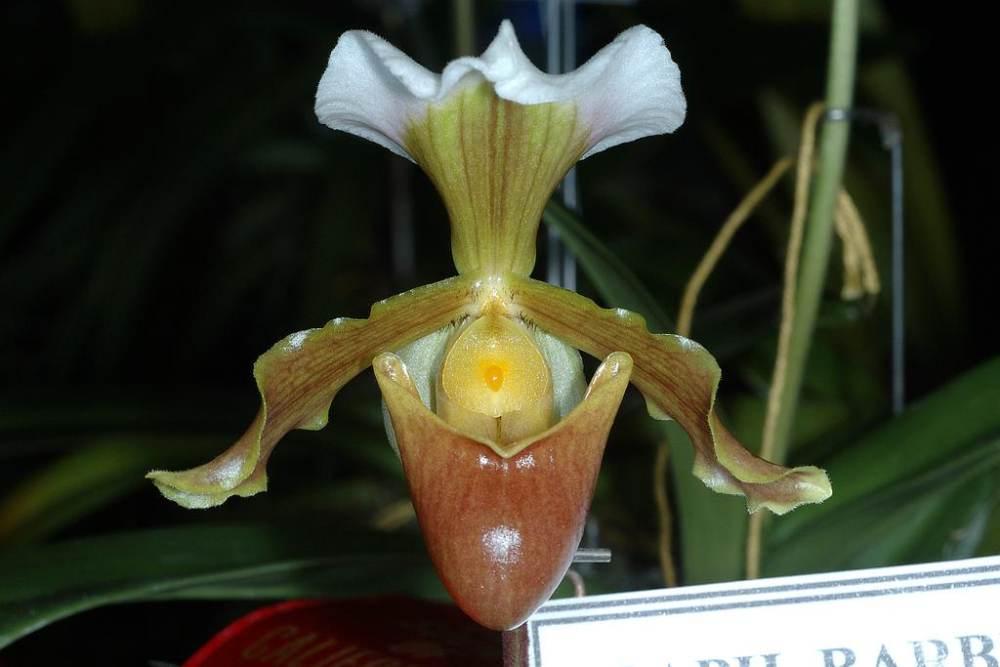 orchidea13