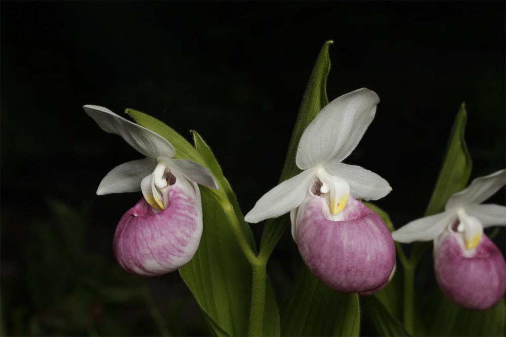 orchidea7