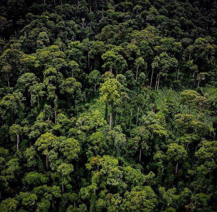 najvyssi-tropicky-strom-1