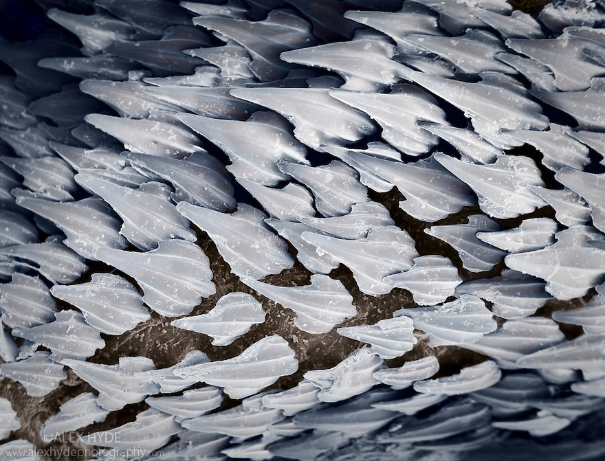 Dermal denticles on a Dogfish shark {Scyliorhinus sp}. These tooth-like structures on the skin of sharks and rays afford protection from predators and ectoparasites. They are also speculated to reduce drag whilst swimming. False coloured scanning electron micrograph. Dead specimen.