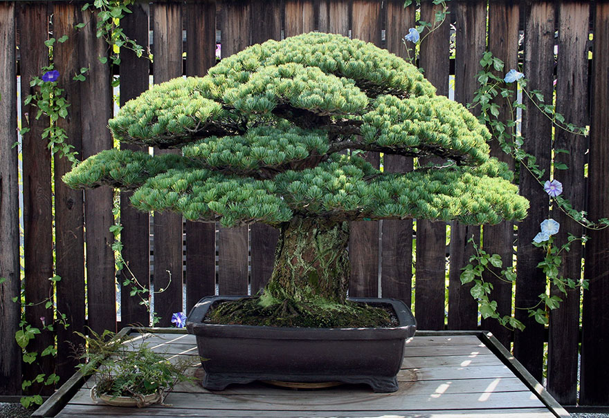 bonsaj-hirosima