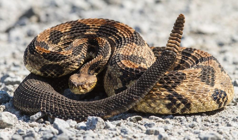 https://roadsendnaturalist.com/tag/canebrake-rattlesnake/