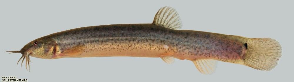 http://gallery.nanfa.org/v/members/Uland/Exotics/Misgurnus+anguillicaudatus+Oriental+Weatherfish+2000.jpg.html?g2_imageViewsIndex=2