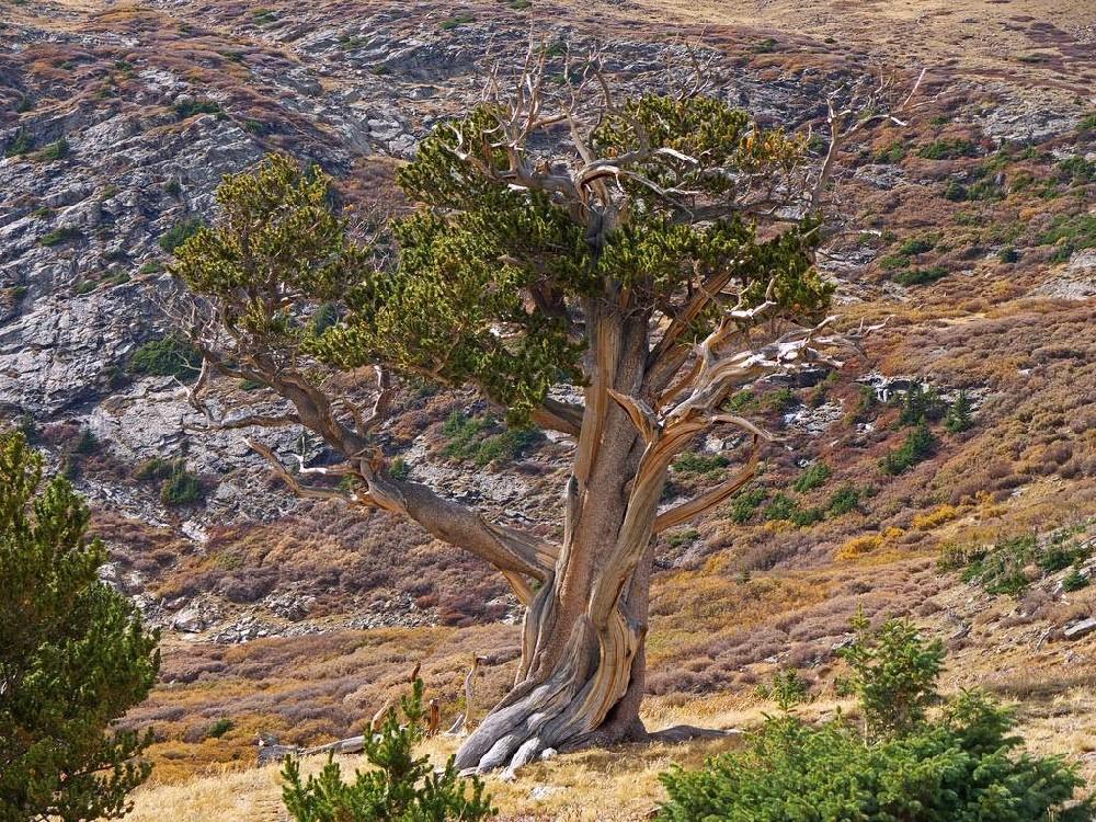 http://www.kuriositas.com/2014/12/the-bristlecone-pine-twisted.html