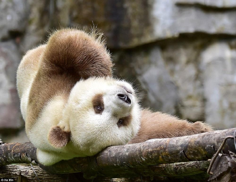 http://www.dailymail.co.uk/news/article-3836388/He-slower-cuter-Meet-world-s-BROWN-panda-Qizai-keeper-reveals-funny-details-bear-s-life.html