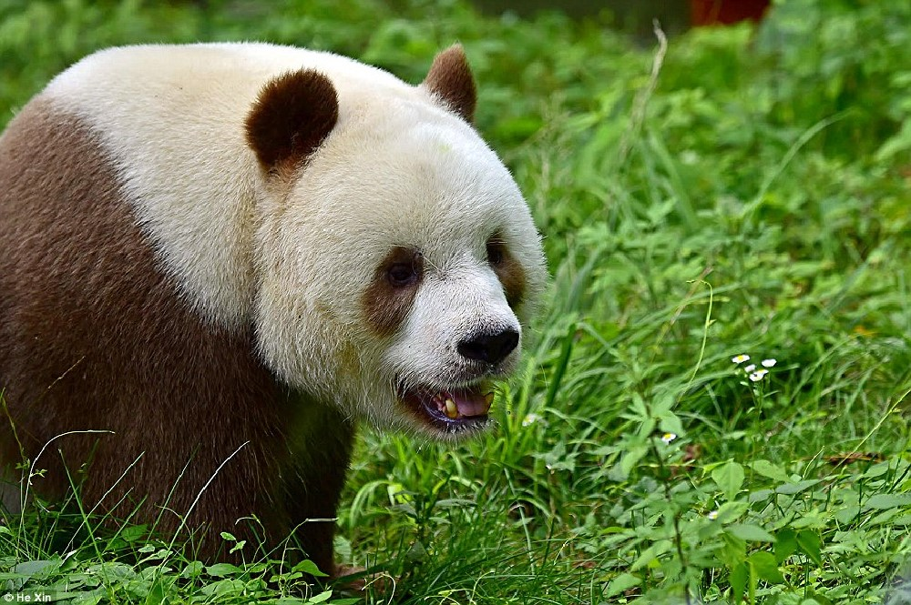 http://www.dailymail.co.uk/news/article-3836388/He-slower-cuter-Meet-world-s-BROWN-panda-Qizai-keeper-reveals-funny-details-bear-s-life.html