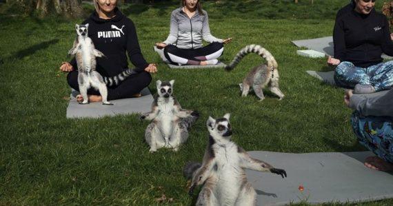 Hodina jogy s lemurmi