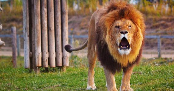 Lev na Ukrajine zaútočil na svojho krotiteľa