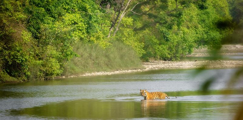 Bengálsky tiger v Národnom parku