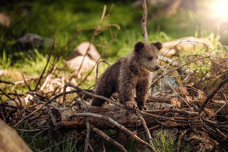 Mláďatko medveďa hnedého