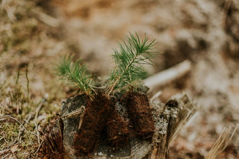 Sadenice drevín