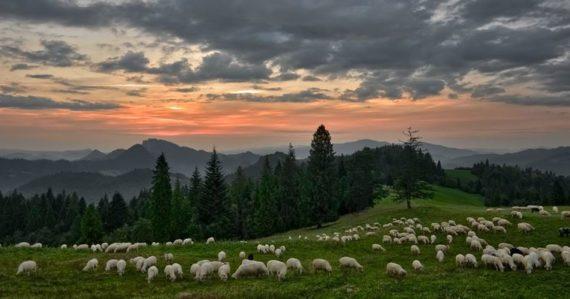 Pasenie oviec, Pieniny