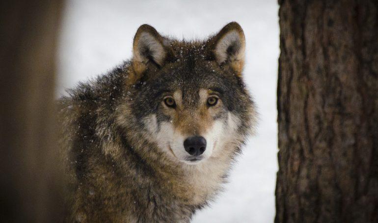 Vlk vo voľnej prírode