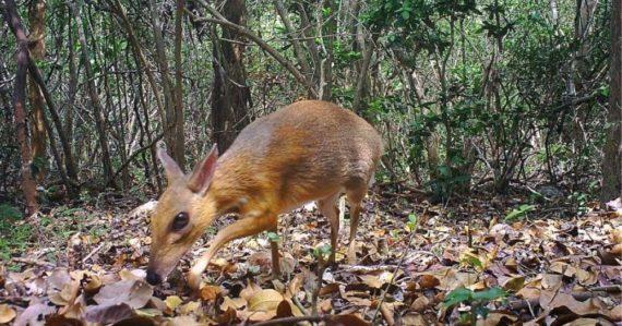 Našli zvláštneho myšieho jeleňa. Takmer 30 rokov si vedci mysleli, že tento tvor vyhynul