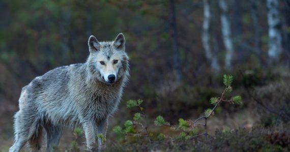 Za tri týždne zastrelili na Slovensku desať vlkov. Petíciu za jeho ochranu podpísalo už 80-tisíc ľudí