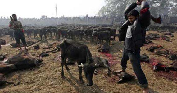 Za dva dni rituálne obetujú desaťtisíce zvierat. V Nepále začína tradičný festival, zabíjať sa bude aj napriek zákazu