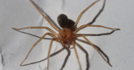 Stačí jedno uhryznutie a rana vám začne hniť: V Mexiku objavili nový druh pavúka
