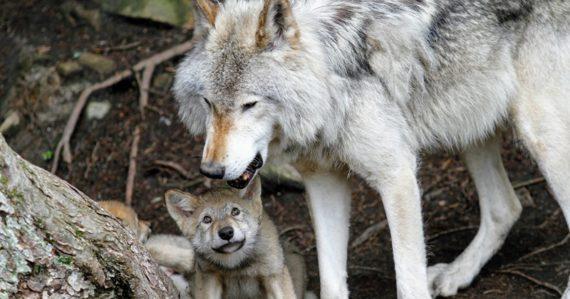 V Tatrách odstrelili 11 vlkov, v Chočských vrchoch prežili len mláďatá. Kvóta však stále nie je naplnená