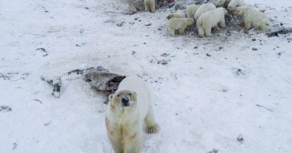 Ruskú dedinku obkľúčilo 56 ľadových medveďov. Sú vychudnuté, hľadajú potravu