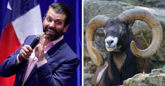 Syn Donalda Trumpa zastrelil vzácnu mongolskú ovcu. Povolenie na lov mal získať až o pár týždňov