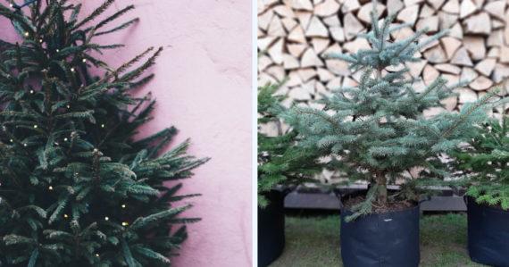 Prenájom vianočných stromčekov: Na Slovensku len v troch mestách. Záujem je obrovský, možností málo