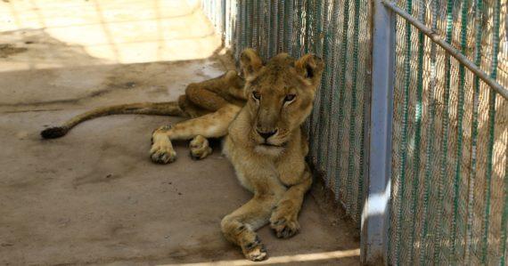 Levy v sudánskej zoologickej záhrade sú vyhladované na smrť. Údajne už nežrali celé týždne