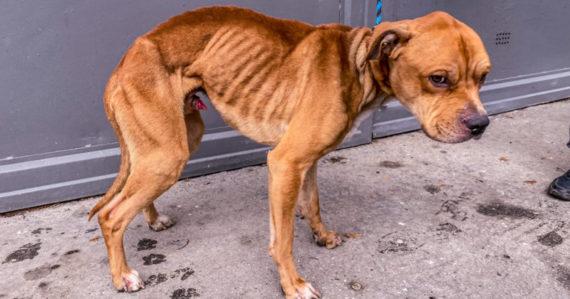 Psíka nechala týždne bez jedla zatvoreného v garáži. Extrémne vychudnutý staford mal iba 16 kilogramov