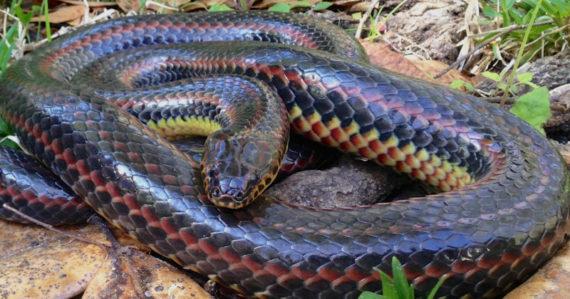 Prvýkrát po 50 rokoch objavili vzácneho a tajomného dúhového hada