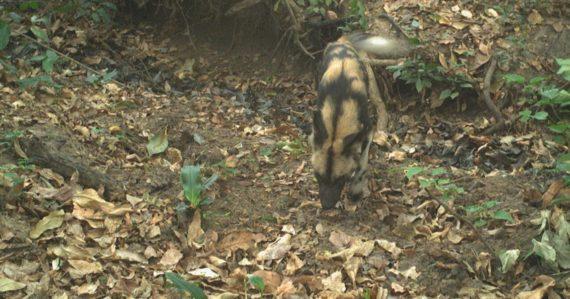 Fotopasce zachytili vzácne a ohrozené divoké psy. Ochranári veria, že im svitá na lepšie časy