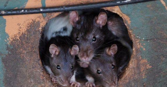 Americké úrady varujú pred agresívnymi potkanmi. Uchyľujú sa aj ku kanibalizmu