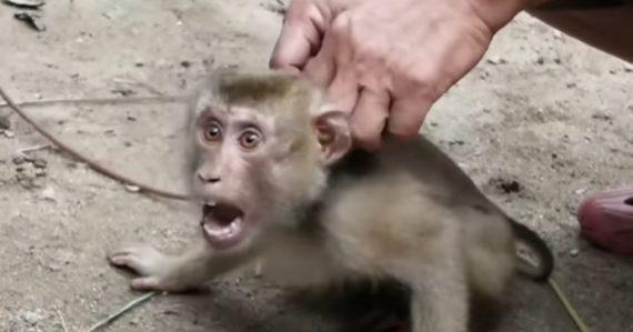 Makaky sú odobraté matkám a nútené k otroctvu. Denne pozbierajú aj 1 000 kokosových orechov