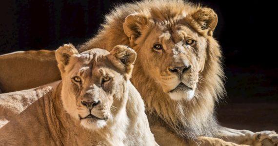 Zoologická záhrada prišla o levích dôchodcov: Boli ikonickým párom, utratili ich naraz a spoločne