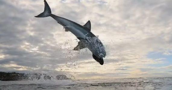 Žralok modrý pokoril rekord, vyskočil nad vodu do výšky neuveriteľných 4,5 metra