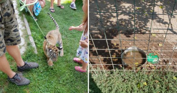 Ranč pri Žiline odkiaľ mohla mať tigra Plačková: Zvieratá tam pijú vodu s výkalmi, majiteľ predáva tigre do zahraničia