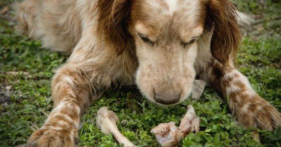Prečo si psy zahrabávajú kosti do zeme? Vedci majú jasnú odpoveď