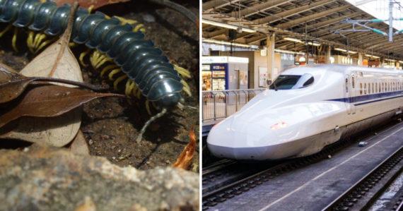 Každých osem rokov roj stonožiek zastavuje vlaky v Japonsku. Vedci prišli na to, prečo sa to deje