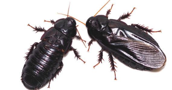 Samec a samička jedného druhu švába sa začnú po sexe navzájom požierať. Dôvodom nie je hlad